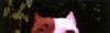 Mme_les_pitbulls_pleurent_11